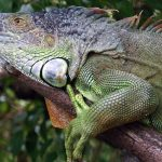 Belize Green Iguana Conservation Project