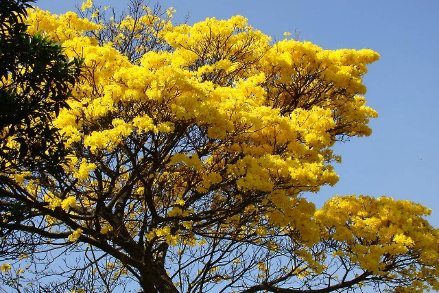 The summer of gold how the yellow cortez tree can change belize mightylinksfo