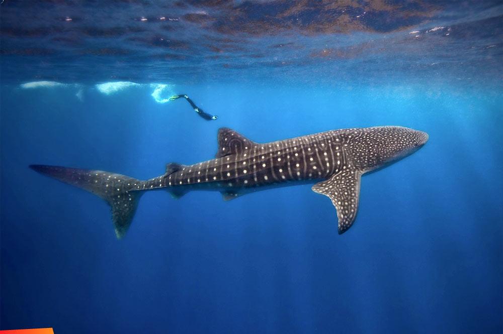 belize whale sharks