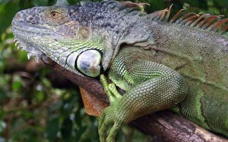 Belize Green Iguana Conservation Project