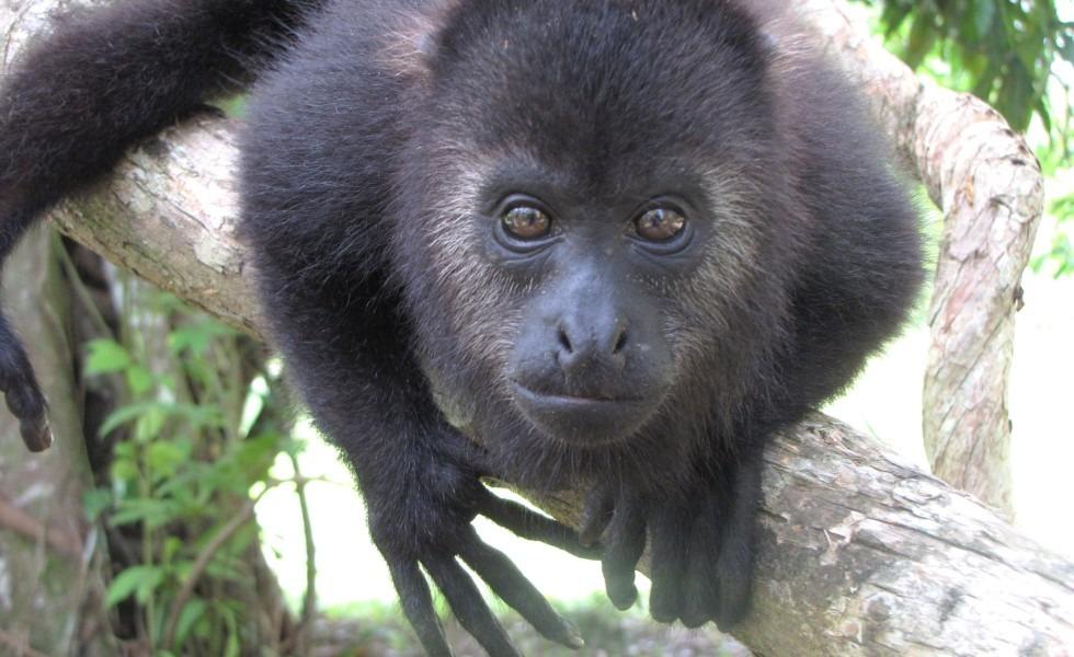 Community Baboon Sanctuary in Belize
