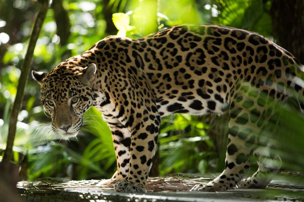 Cockscomb-Basin-Wildlife-Sanctuary-Jaguar-Reserve