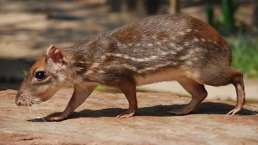 the royal rat in belize