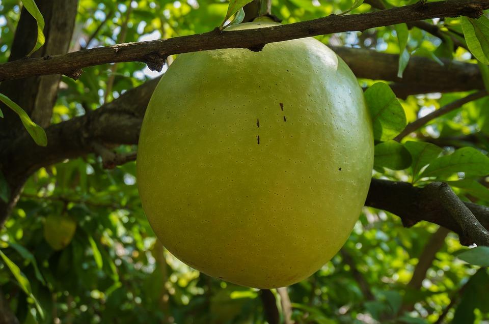 Calabash tree fruit
